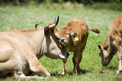 Cows. Young calf and his mother stock images