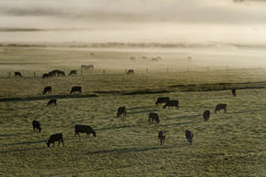 COWS. The cows in a field during foggy early morning royalty free stock photography