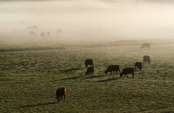 Cows. A field of dairy cows in the Australian outback side royalty free stock images