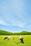 Cows. Are grazed on a meadow in summer day Royalty Free Stock Image