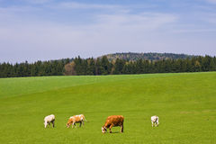 Cows. On pasture in beautiful landscape Stock Image