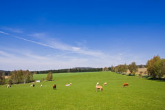 Cows. On pasture in beautiful landscape Stock Images