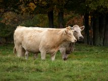 Free Cows Royalty Free Stock Images - 5565749