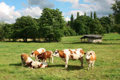 Cows. Group of cows resting on a green field in Germany royalty free stock image
