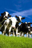 Cows. Herd of Frieian cows or calves in Field Stock Image