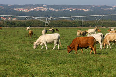 Cows. To graze in a field with some herbs Royalty Free Stock Photos