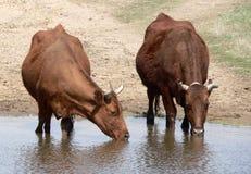 Cows. Water, farm, animal, home Stock Image