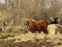 Cows. Scottish longhorn cow royalty free stock photography