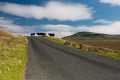 Cows. In Yorkshire Dales National Park Stock Image