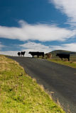 Cows. In Yorshire Dales National Park Royalty Free Stock Photo
