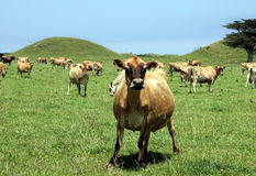 Cows. Dairy cattle in coastal farmland royalty free stock image