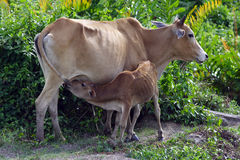 The cows. Images of cow breast feeding Stock Photos