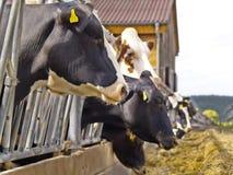 Cows. Feeding on a farm Royalty Free Stock Photos