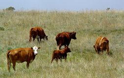 Cows. A group of cows grazing in a field Stock Photography
