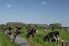 Cows. Dutch cows, Frisonne Hollandaise in the meadow stock images