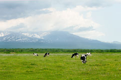 Cows. Grazing on a green pasture near mountains Stock Photos