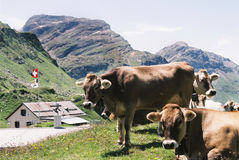 Cows. In switzerland- julier pass Stock Images
