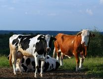 Cows. On the pasture Stock Images