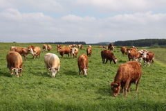 Cows. Photograph of german cows outdoor royalty free stock images