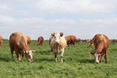 Cows. Photograph of german cows outdoor stock photography