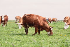 Cows. Photograph of german cows outdoor stock images