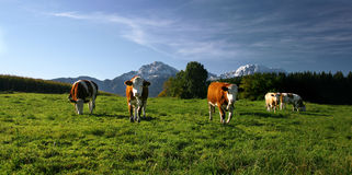 Cows. On pasture in bavarian landscape at autumn Royalty Free Stock Image