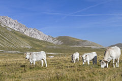 Cows in Abruzzo Royalty Free Stock Photos