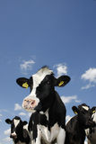 Cows against blue sky with some clouds. Stock Image