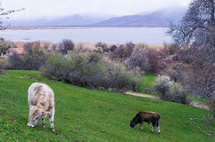 Cows in Agios Achilios island in Small Prespa lake, Florina, Greece Royalty Free Stock Photography