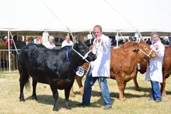Cows in agricultural show Tendring Essex Royalty Free Stock Image
