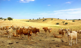 Cows in alentejo field. Royalty Free Stock Image