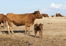 Cows in alentejo field Royalty Free Stock Image