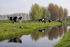 Cows along a ditch. Near the village Wijngaarden with the small forest Kraaienbos in the background.r Stock Photo