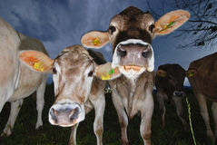 Cows on alp. Cows on meadow looking in camera at evening Stock Photography