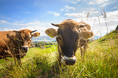 Cows on the Alp fields Royalty Free Stock Images