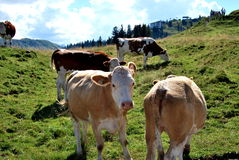 Cows. On the alp with hills and grassland Stock Photography