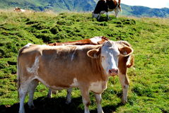 Cows. On the alp with mountains and grassland Royalty Free Stock Photography