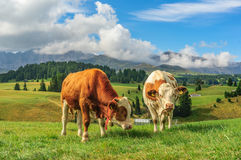 Cows in Alpi di Siusi, Dolomites. Italy royalty free stock photography