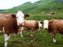 Cows on Alpine hall. Interfere with tourists crossing route Stock Images
