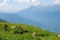 Cows on the Alpine meadow Stock Image
