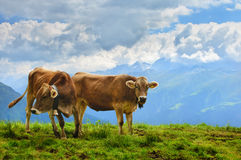 Cows in the Alpine meadow Stock Photo