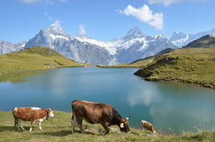 Cows in an Alpine meadow Royalty Free Stock Photo