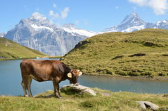Cows in an Alpine meadow Stock Photos