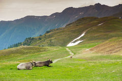 Cows in an Alpine meadow Royalty Free Stock Photos