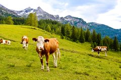 Cows on an alpine meadow Stock Image