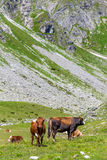 Cows on alpine meadow Stock Photography