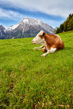 Cows on alpine meadow, in the background mountains Stock Image