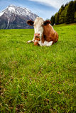 Cows on alpine meadow, in the background mountains Stock Photography