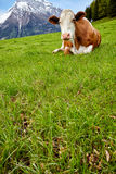 Cows on alpine meadow, in the background mountains Stock Photos