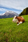 Cows on alpine meadow, in the background mountains Stock Images